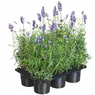 Lavendel blau 6er-Tray