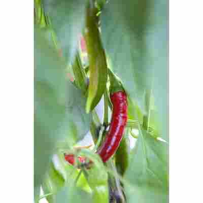Drachenfutter- scharfe Paprika und Peperoni, 10,5 cm Topf