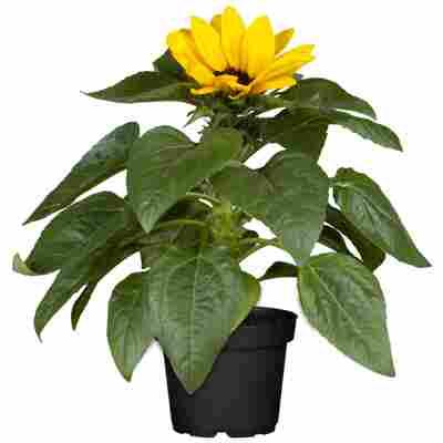 Sonnenblume 12 cm Topf