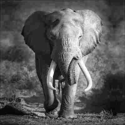 Canvas-Art 'Elefant', 30 x 30 cm