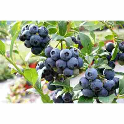 Naturtalent by toom® Bio Heidelbeere 'Bluecorp', Busch