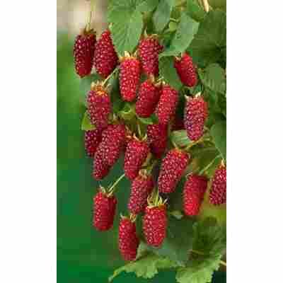 Naturtalent by toom® Bio Brombeere 'Tayberry', Busch®