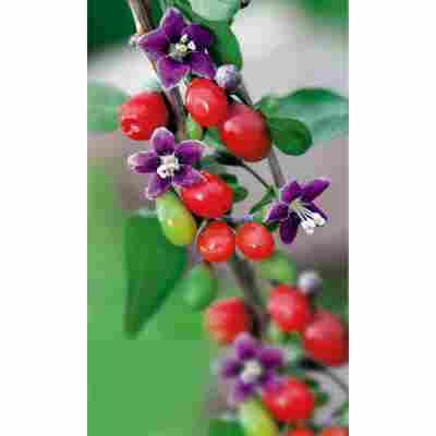 Naturtalent by toom® Bio Gojibeere, Busch®