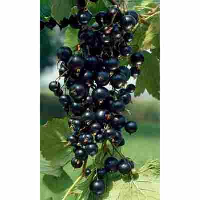Naturtalent by toom® Bio Johannisbeere 'Silvergieters', Busch®