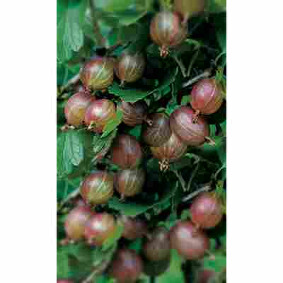 Naturtalent by toom® Bio Stachelbeere 'Hinnonmäki rot', Busch®