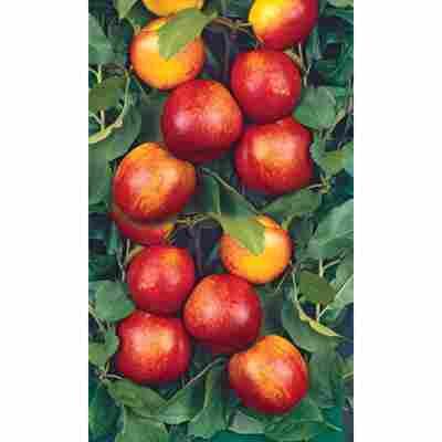Naturtalent by toom® Bio Nektarine, Busch®
