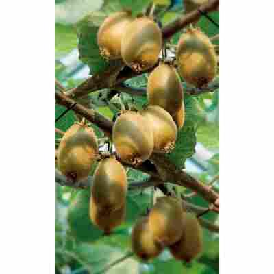 Naturtalent by toom® Bio Kiwi f/m, Busch®