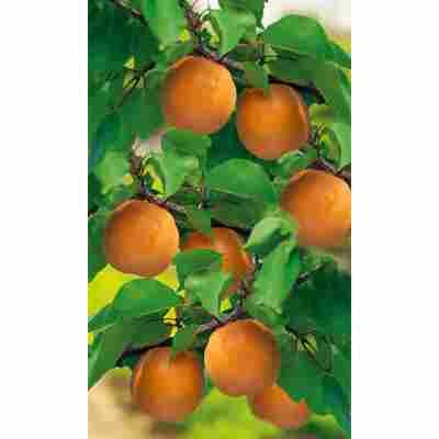 Naturtalent by toom® Bio Aprikose 'Nancy', Busch®