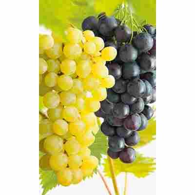 Naturtalent by toom® Bio-Duo-Wein mehltautolerant, Busch