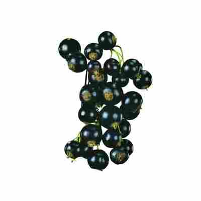 Naturtalent by toom® Bio Johannisbeere 'Titania', Hochstamm®