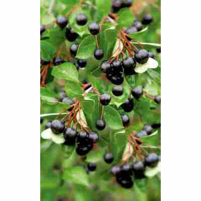 Naturtalent by toom® Bio Apfelbeere, Busch®