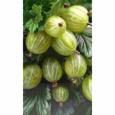 Naturtalent by toom® Bio Stachelbeere 'Hinnonmäki gelb', Busch®