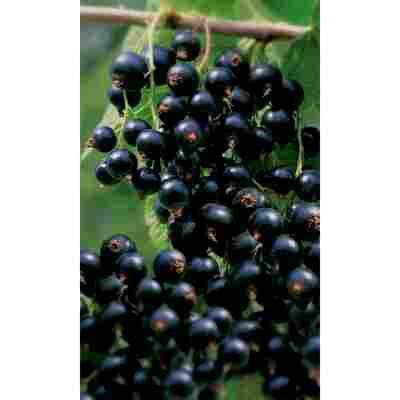 Naturtalent by toom® Bio Johannisbeere 'Rosenthal', Busch®
