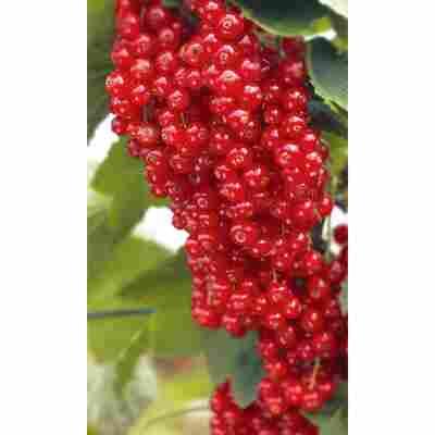 Naturtalent by toom® Bio Johannisbeere 'Rovada', Busch®