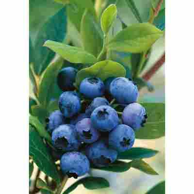 Naturtalent by toom® Bio Heidelbeere 'Goldtraube', Busch®