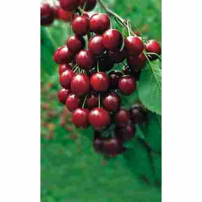 Naturtalent by toom® Bio Kirsche 'Morellenfeuer', Busch®