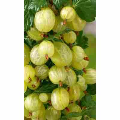 Naturtalent by toom® Bio Stachelbeere 'Muccurines', Busch®