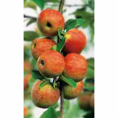 Naturtalent by toom® Bio Apfel 'Elstar', Busch®