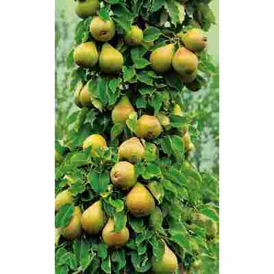 Naturtalent by toom® Bio Säulenbirne 'Aroma Spur®', Säule®