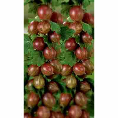 Naturtalent by toom® Bio Stachelbeere 'Remarka', Busch®