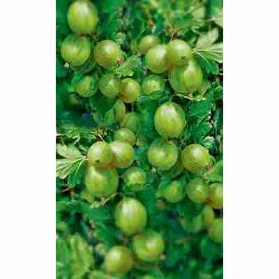 Naturtalent by toom® Bio Stachelbeerbusch 'Invicta', Busch®
