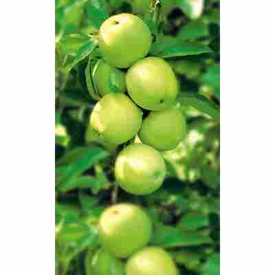 Naturtalent by toom® Bio Apfel 'Golden Delicious', Busch®