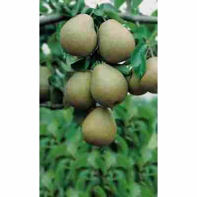 Naturtalent by toom® Bio Birne 'Gellerts Butterbirne', Busch®