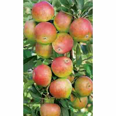 Naturtalent by toom® Bio Apfel 'Grafensteiner', Busch®