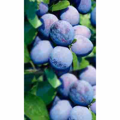 Naturtalent by toom® Bio Pflaume 'Wangenheim', Busch®