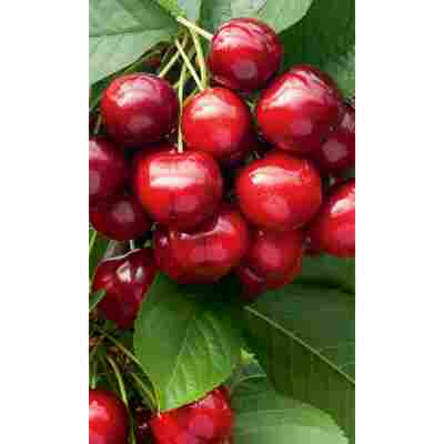 Naturtalent by toom® Bio Kirsche 'Sunburst', Busch®