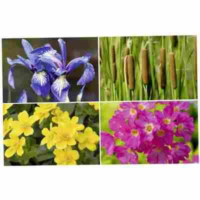 Wasserpflanzen verschiedene Sorten 9 x 9 cm Topf