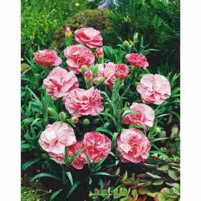 Gartennelke 10,5 cm Topf, 3er-Set