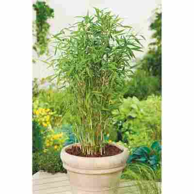 Gartenbambus