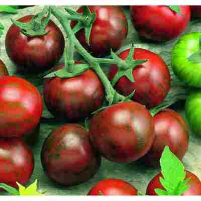 Veredelte Tomate