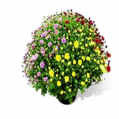 Chrysanthemenbusch 3-farbig 19 cm Topf