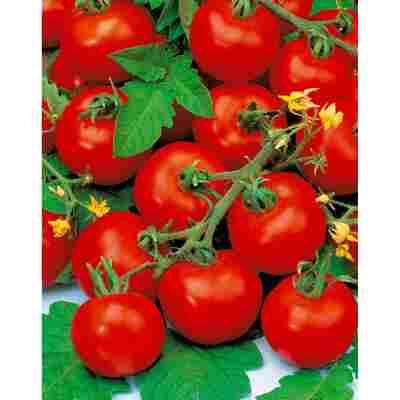Tomate 'Harzfeuer' Datschenstolz, 2er-Set