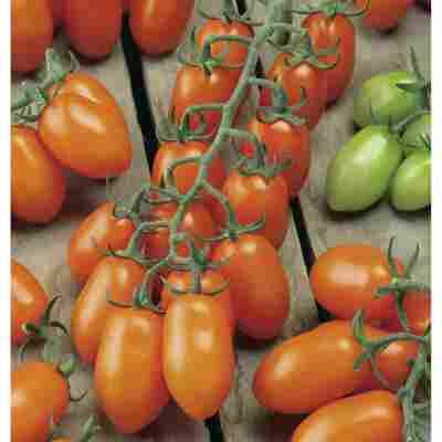 Mini-Tomate 'Santorange' F1 veredelt, 2er-Set