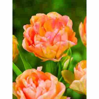 Tulpen-Mix gefüllt, 5 Zwiebeln im Topf, 2er-Set