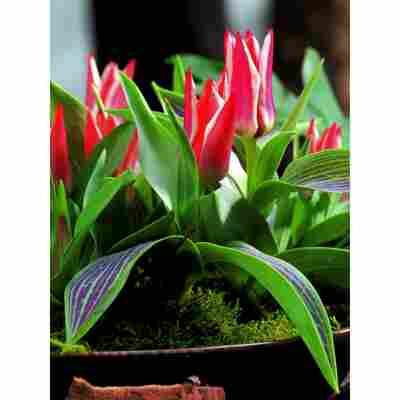 Botanische Tulpen im Mix, 5 Zwiebeln im Topf, 2er-Set