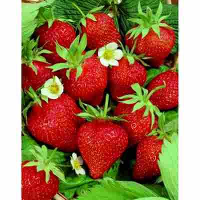 Erdbeere 'Delizz' 2er-Set