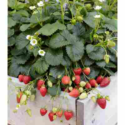 Erdbeere 'Elan' F1 2er-Set