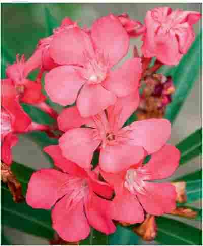 Oleander 14 cm Topf