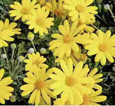 Gelbe Strauchmargerite 2er Set, 14 cm Topf