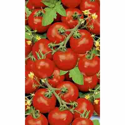 Naturtalent by toom® Bio-Tomate 'Harzfeuer', 9 cm Topf, 3er-Set