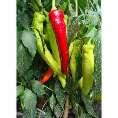 Naturtalent by toom® Gemüse-Raritäten Bio-Bullhorn-Chili, 12 cm Topf, 2er-Set