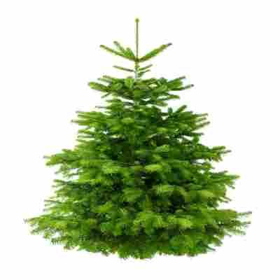 Weihnachtsbaum Kaufen Kiel.Nordmanntanne 125 150 Cm