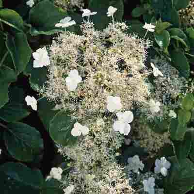 Kletterhortensie 'Petiolaris' weiß 14 cm Topf