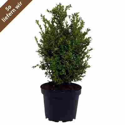"""Buchsbaum """"var. arborescens"""""""