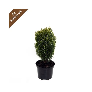 Heckenpflanzen Online Bestellen Toom Baumarkt