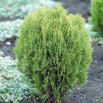 """Lebensbaum """"Aurea Nana"""""""